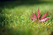 Christina  Kilgour - Fallen Acer Leaf On Dewy Grass