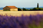 Lavender Fields Acrylic Prints - Farmhouse in a harvested wheat field surrounded by lavender fields Acrylic Print by Sami Sarkis