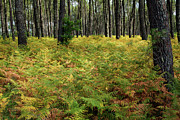 Aquitaine Metal Prints - Ferns and tree trunks covering the ground of Landes Forest Metal Print by Sami Sarkis