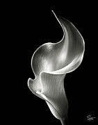 Floral Metal Prints - Flame Calla Lily in Black and White Metal Print by Endre Balogh