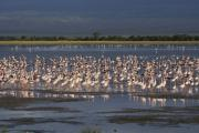 Michele Burgess - Flamingos at Amboseli