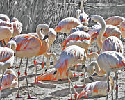 Lizi Beard-Ward - Flamingos