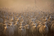 Flock Of Sheep Posters - Flock Of Domestic Sheep (ovis Aries), Naudes Neck, Eastern Cape Province, South Africa Poster by Gallo Images/George Brits