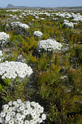 Fynbos Prints - Flower beds south africa Print by Perry Van Munster