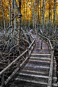 Adrian Evans - Footpath in mangrove forest