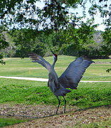 Cranes In Florida Framed Prints - Fore Framed Print by Joel Deutsch