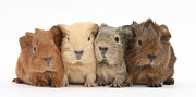 Mark Taylor and Photo Researchers - Four Baby Guinea Pigs