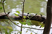 Maria Urso - Artist and Photographer - Four Turtles on a Log