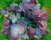RC DeWinter - French Hydrangea Rainbow