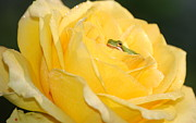 Frogs - Frog In Yellow Rose by Kathy Gibbons