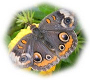 Warren Thompson - Fuzy Buckeye Butterfly
