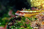 Sami Sarkis - Galapagos Barnacle Blenny on rock