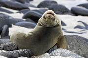 David Hosking and Photo Researchers - Galapagos Sea Lion