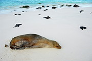 Sami Sarkis - Galapagos Sea lion sleeping on beach