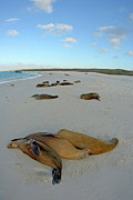 Sami Sarkis - Galapagos Sea lions sleeping on beach