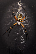Tamyra Ayles - Garden Spider and Web