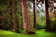 Jenny Rainbow - Giant Sequoias. Benmore Botanical...