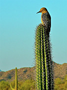 Gila Woodpecker Framed Prints - Gila Woodpecker on a Saguaro in Organ Pipe Cactus National Monument Framed Print by Ruth Hager