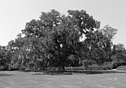 Suzanne Gaff - Glorious Live Oak in black and white