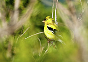 Finch Photos - Gold Finch by Greg Nyquist
