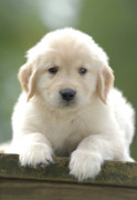 Puppy Photos - Golden Retriever Puppy on Bench by Stan Fellerman