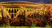 Grape Leaves Photos - Golden Vineyard by Jeff Lowe