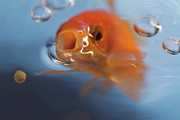Sami Sarkis - Goldfish opening mouth to catch food