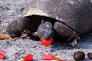 Reptiles - Gopher Tortoise Photo by Meg Rousher