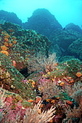 Sami Sarkis - Gorgonian fans and Cup Coral on rocky...
