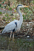 Suzanne Gaff - Great Blue Heron 1-1-11
