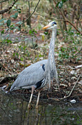 Suzanne Gaff - Great Blue Heron A 1-1-11