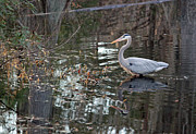 Suzanne Gaff - Great Blue Heron and Reflection II