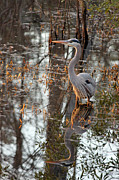 Suzanne Gaff - Great Blue Heron and Reflection