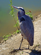 Wade Fishing Metal Prints - Great Blue Heron Metal Print by Mariola Bitner