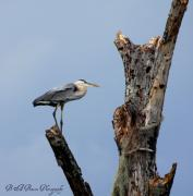 Barbara Bowen - Great Blue Heron Perched