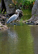 Suzanne Gaff - Great Blue Heron