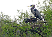 Suzanne Gaff - Great Blue Heron with Fledglings