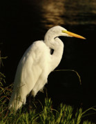 Wade Fishing Metal Prints - Great Egret At Morning Metal Print by Robert Frederick