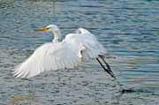 Editorial Framed Prints - Great Egret in Flight Framed Print by Roderick Bley