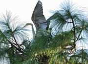 Great Heron Photos - Great Heron Flight to Nest by Wayne Nielsen