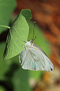 Meg White Prints - Great Southern White Butterfly Photo Print by Meg Rousher