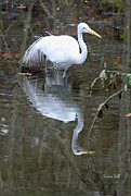 Suzanne Gaff - Great White Egret and Reflection