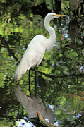 Suzanne Gaff - Great White Egret in Spring