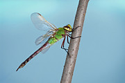 Tom Biegalski - Green Darner Dragonfly