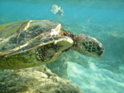 Michael Peychich - Green Sea Turtle 4