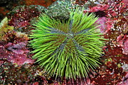Sami Sarkis - Green Sea Urchin on rock
