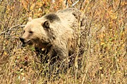 Adam Jewell - Grizzly In The Brush