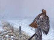 Craig Carlson Prints - Grounded - Redtailed Hawk Print by Craig Carlson
