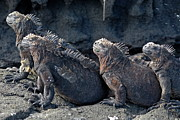 Sami Sarkis - Group of Marine Iguana lying on rock