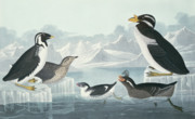 John James Audubon - Guillemots and Auks